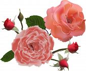 illustration with light red roses and buds isolated on white background