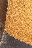 Pile Of Raw Kernel Corn Beans