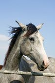 Portrait of an beautiful arabian gray horse