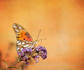 foto of butterfly-bush  - Gulf Fritillary butterfly  - JPG