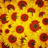 abstract sunflower background.