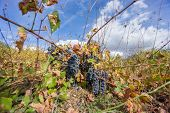 stock photo of neglect  - Wide angle view of neglected Vineyards with grapes and bue sky - JPG