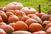 Pumpkins in a farmland