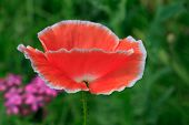 Pink Poppy On Meadow