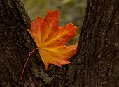 Maple Tree Leaf On Trunk Of Tree