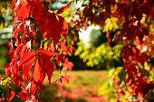 Red Virginia Creeper In Autumn