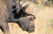 Cape Buffalo Portait