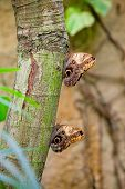Two Large Owl Butterflies