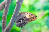Owl Butterfly On Green Background