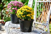 Yellow and lilac flowers in pots on white wicker chairs in garden
