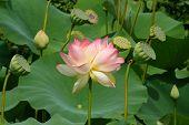 Asian Lotus