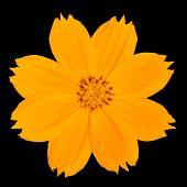 Yellow Singapore Daisy Wildflower Isolated On Black