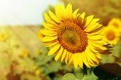 Beautiful sunflower in field close up