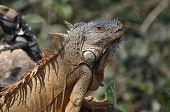 Green iguana sunbathing on a rock