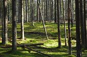 Dark Forest With Fir And Pine Trees At The Summer