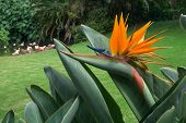 Bird of Paradise flower on Tenerife island