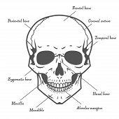 Skull anatomy at white background