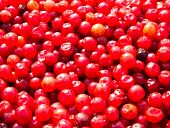 Red Lingonberry