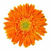 Orange Gerbera Flower Isolated On White With Clipping Path
