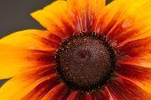 Rudbeckia (Coneflower) Close-Up
