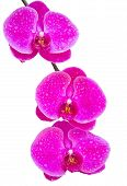 Pink Phalaenopsis Orchid Flower Isolated On White With Clipping Path