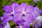 Blue Vanda Orchid Flower
