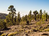 Beautiful Landscape With Trees And Clouds. Teide National Park, Tenerife. Canary Islands, Spain