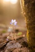Hepatica nobilis beautiful sunlight