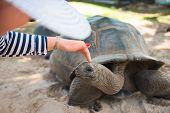 Aldabran Seychelles Giant Tortoise