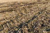pic of corn stalk  - Field with empty corn cobs stalks and leaves left after harvest - JPG