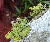 Uncurling Ferns