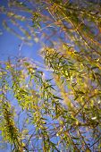 picture of weeping willow tree  - Sunlight reflection in a weeping willow in Autumn - JPG
