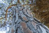Closeup Of Pine Trunk