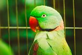 Close Up Alexandrine Parakeet Psittacula Eupatria. Bird Parrot
