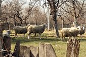 picture of herd  - Sheep herd grazing on the field - JPG