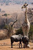 Giraffe diensthabende guard