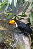Beautiful Tucan Drinking Water On Jungle
