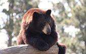 Brown Bear on Log