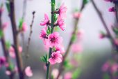 Beautiful Peach Blossom. Soft Focus
