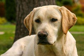 image of labrador  - Detail of yellow Labrador dog in the spring garden - JPG
