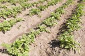 pic of non-toxic  - Potato plants in the organic vegetable garden Groentenhof in Leidschendam Netherlands - JPG