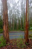 picture of tree lined street  - Eucalyptus trees line a wet road with fog in the background  - JPG