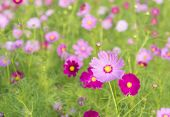 foto of cosmos flowers  - Cosmos colorful flowers in the garden with natural light - JPG