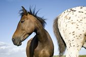 A beautiful brown horse with a young appaloosa stallion.