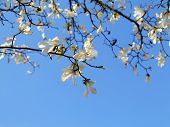 stock photo of magnolia  - Authentic landscape magnolia flowers against the sky backlit as a backdrop for the staging of promotional songs and text - JPG