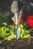 stock photo of spade  - Closeup toned photo of woman digging out lettuce with metal spade - JPG