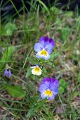 picture of viola  - Pansy flowers (Viola tricolor) in Ontario forest