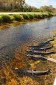 picture of alligators  - Alligators are near the road in the bay in Florida - JPG
