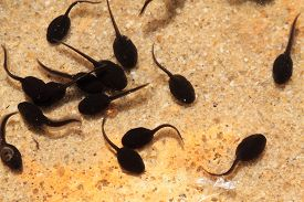 foto of tadpole  - tadpoles in the fresh water as nice spring background - JPG