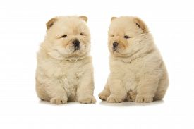 picture of chow-chow  - two chow - JPG